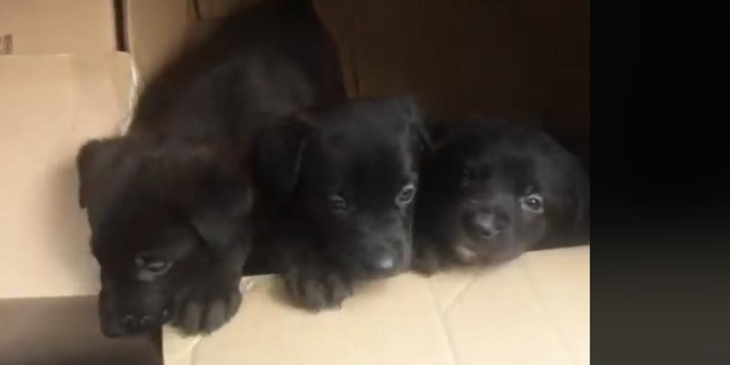 """Police """"rescue"""" six abandoned dog puppies in cardboard boxes in Toledo"""