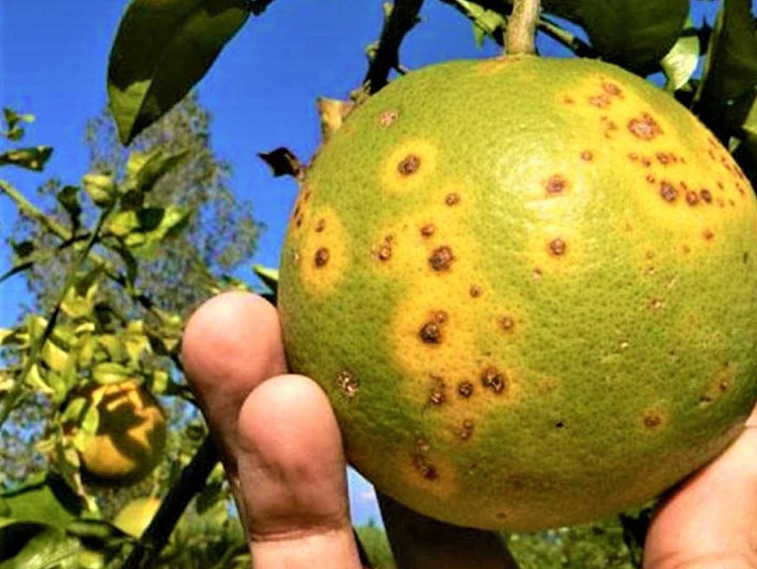 the unexpected and effective weapon against the yellow dragon, the plague that annihilates the orange trees