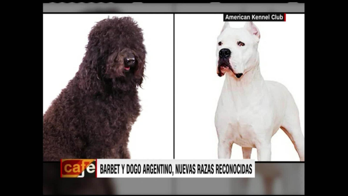 They recognize the Argentine bulldog and Barbet as pure breeds