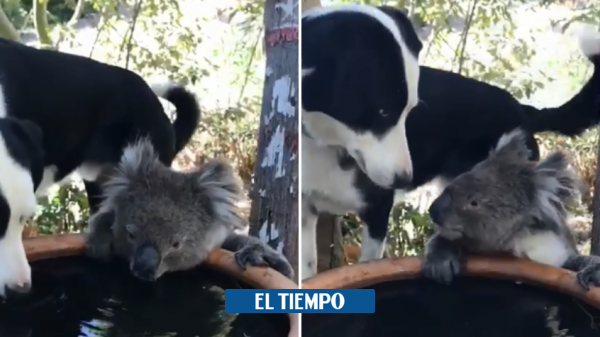 Dog shares its water with a thirsty Koala in Australia - Environment - Life