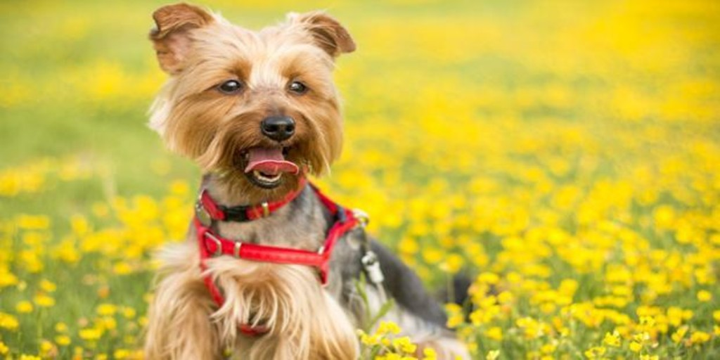 Dogs of small breeds have a greater predisposition to heart problems