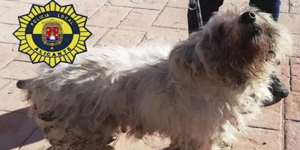 Rescue in Alicante to 36 sick and overcrowded dogs in a 50-meter house