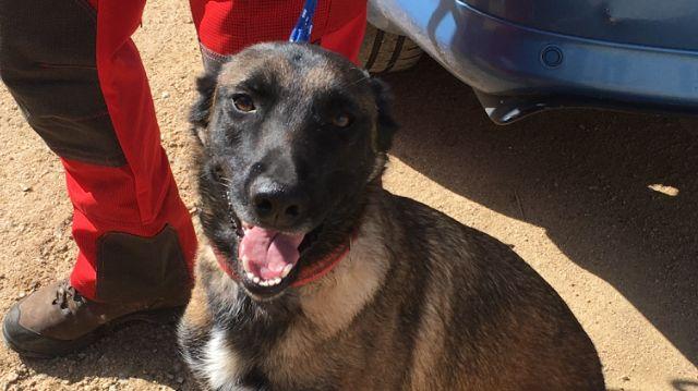 Orezza, l'un des chiens du SIS 2A, sera peut-être capable de détecter les malades du Covid-19 d'ici quelques jours