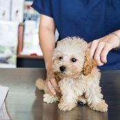 Sick dog: symptoms, detection, consultation