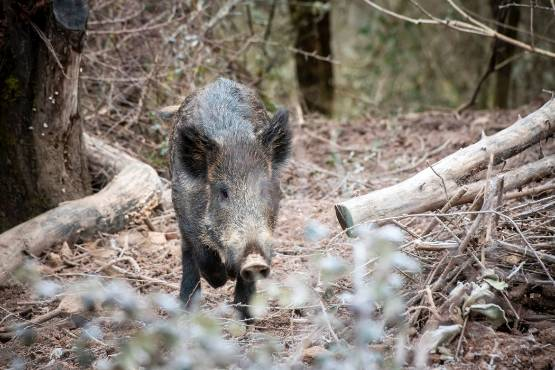 A virus dangerous for wild boars and dogs appeared in the Allier