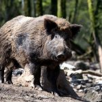 Combine: wild boar farms affected by Aujeszky's disease - Insurance for dogs