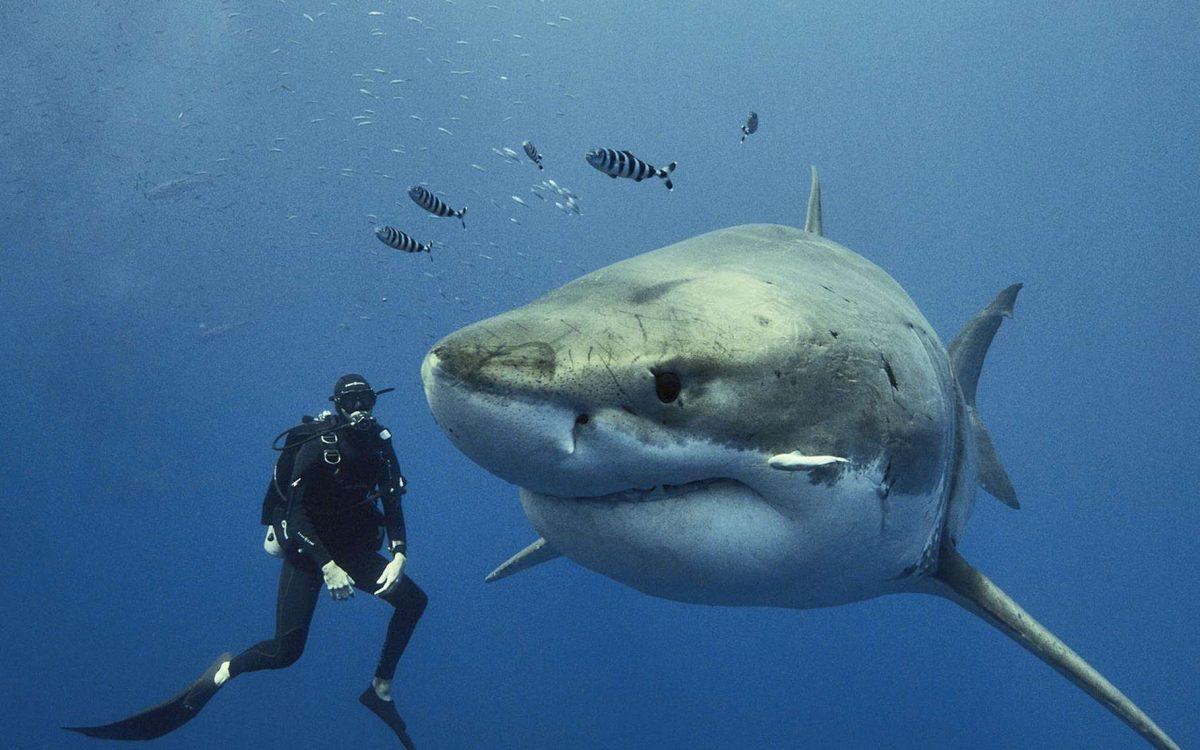 À Guadalupe, au Mexique, de fin septembre à début novembre, les grandes femelles requin-blanc (Carcharodon carcharias) se rassemblent autour de cet îlot perdu au milieu du Pacifique pour s'accoupler. Elles sont sexuellement matures entre 20 et 25 ans. Sur cette photo, une femelle bien connue, Scarboard, mesure plus de 5,5 mètres. Steven Surina a eu l'extrême chance de plonger à plusieurs reprises, hors cage, avec ces géants des mers. © Brocq Maxey, Tous droits réservés