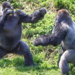WITH WWF - Animals, we love them, save them: the gorilla - Insurance for Pets