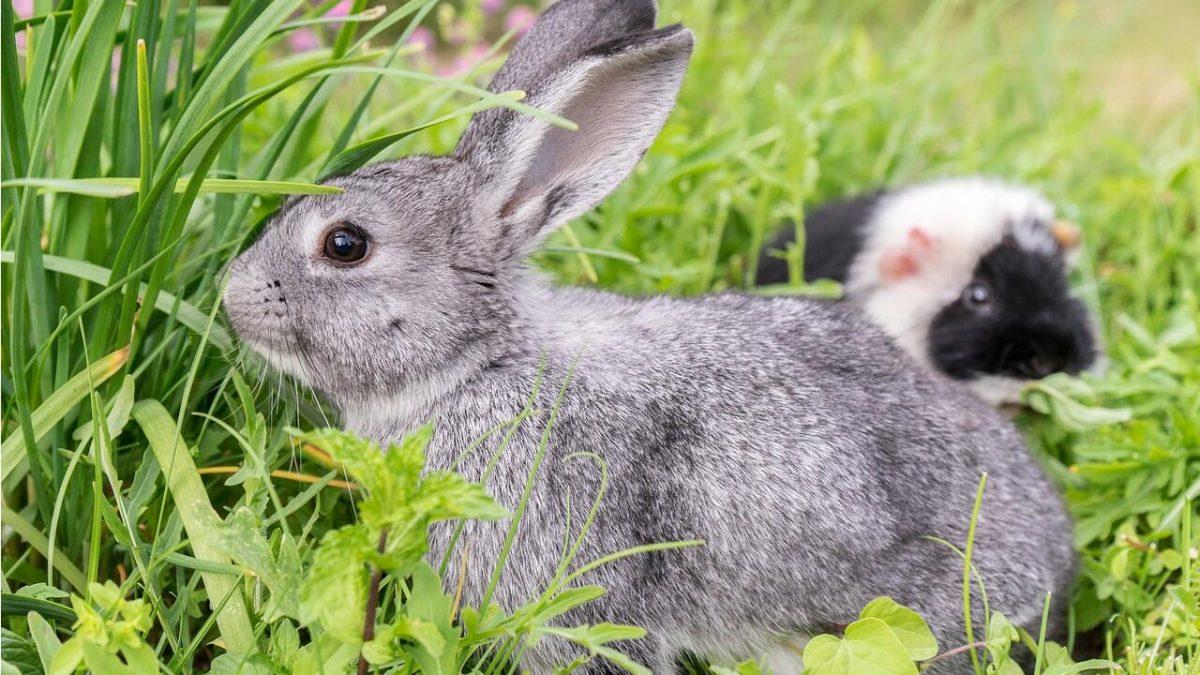 Kleintiere wie Kaninchen, Meerschweinchen und Co. lieben Gesellschaft.