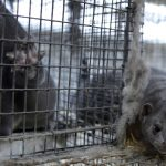 we explain why Denmark decided to slaughter 15 million mink - Insurance for Pets